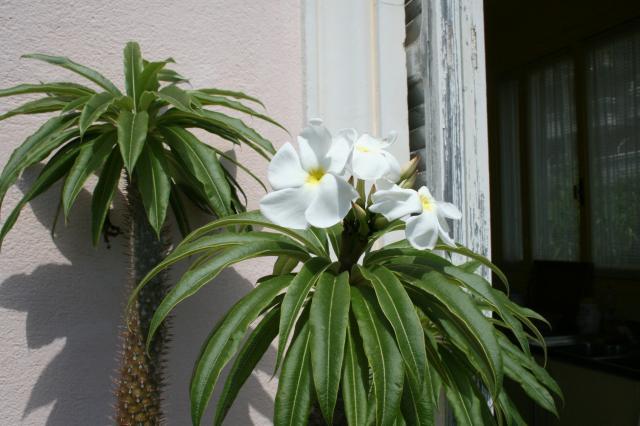 Pachypodium lamerei, c'est beau quand il fleurit Pachypodium-lamer...let-2011-2acd4d4