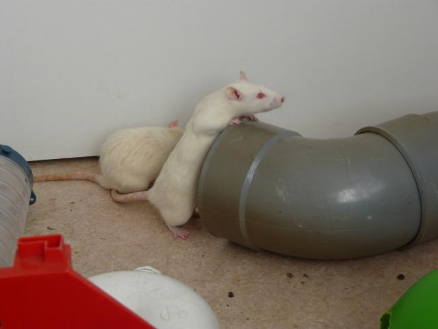 6 rates de laboratoire (3 albinos 3 hooded noir) - RP et + 014-293de6b